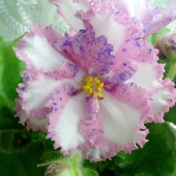 Carnation Sprinkles (P. Sorano)