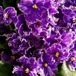 Grape Glory (LLG/Sorano)