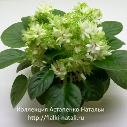 Н-Снежный Георгин (Н. Бердникова)