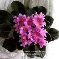 ВаТ-Розовый Мираж (Валькова)