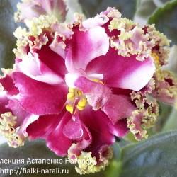 КО-Петушок Золотой Гребешок (Кособокова)