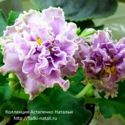 АВ-Дамасская Роза (Фиалковод)